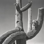 Edward Weston, Saguaro, 1941, © 1981 Center for Creative Photography, Arizona Board of Regents