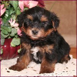 Yorkipoo|Yorkie Poodle|Yorkiepoo|Puppies for Sale|Iowa