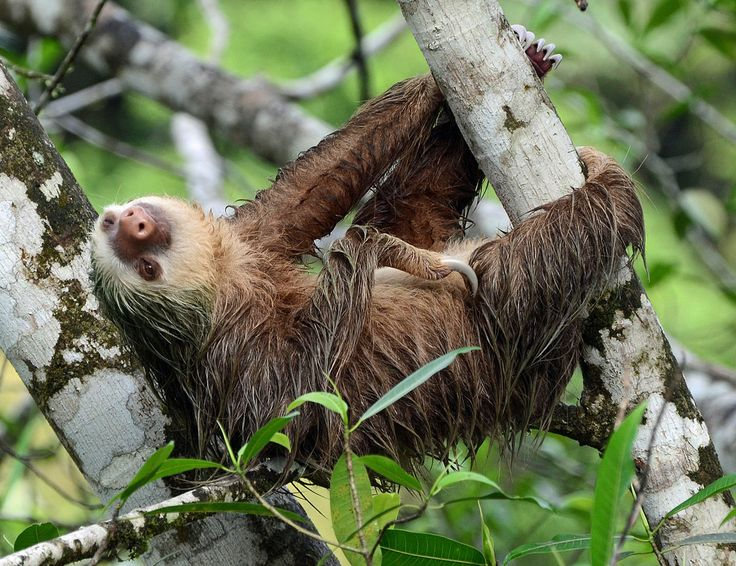 """SLOTH SPECIES #6 Of 6 (MEGALONYCHIDAE FAMILY'S ONLY GENUS,GENUS CHOLOEPUS (THETWO-TOED SLOTHS): HOFFMANN'S TWO-TOED SLOTH. 'Hoffmann's Two-toed Sloth(Choloepus hoffmanni) is aspeciesofSlothfromCentral andSouth America. Wikipedia."""" (Image: """"At La Selva Biological Station, Sarapiqui,Costa Rica - Hoffmann's two-toed sloth - Wikipedia."""")"""