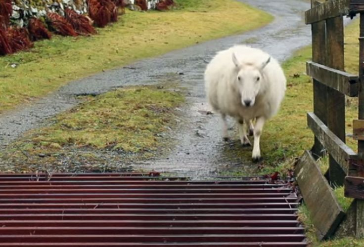 How Does a Sheep Cross a Cattle Grid? (VIDEO)
