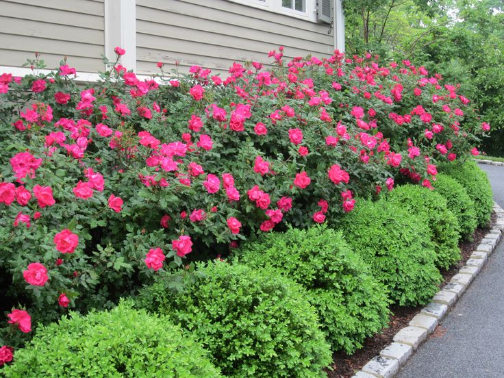 Knockout Roses With Boxwood Hedge Relatively Low Maintenance Idea For A Foundation Planting