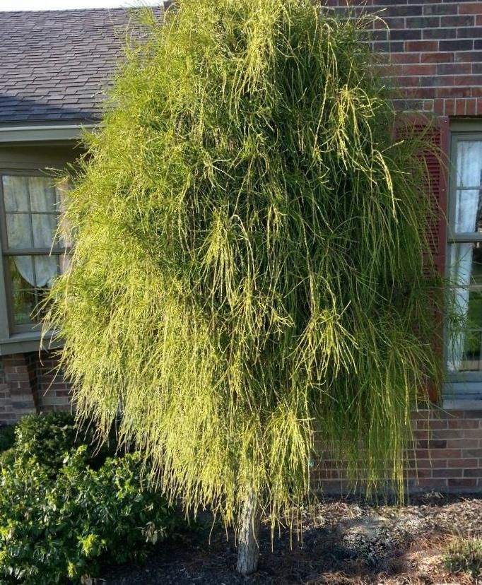 157 Best Images About Trees Conifers On Pinterest Sun Kousa Dogwood And Thuja Occidentalis
