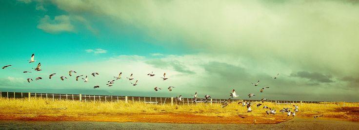 Aves en vuelo en Isla Riesco, antes de la instalación de la Minera Invierno. Foto de Farid Muza.