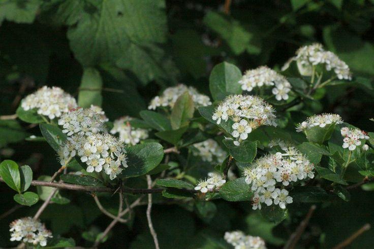 Slånaronia, Aronia prunifolia, blommar maj-juni Bild fr Rydlinge Plantskola