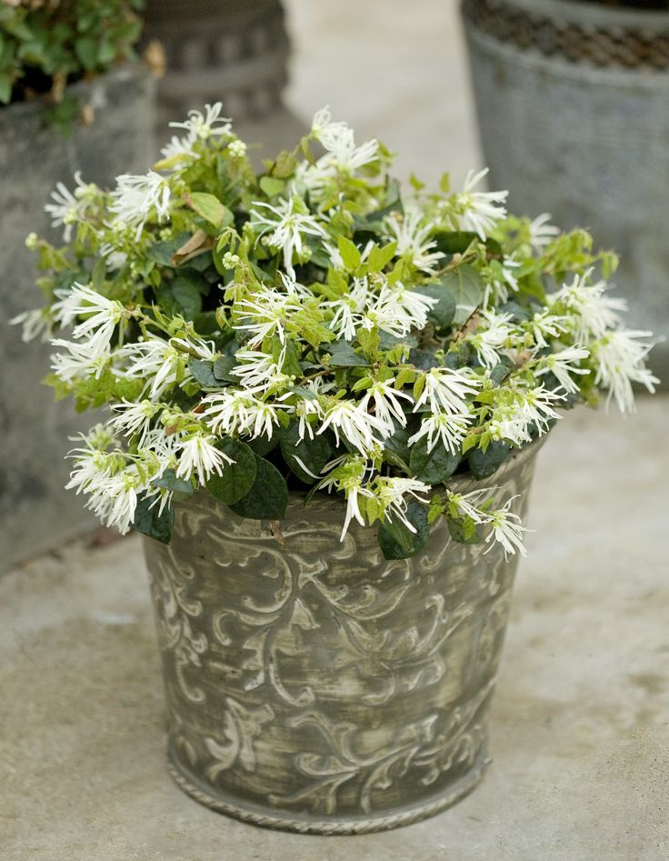 ... to 9 Jazz Hands Dwarf White is a chinese fringe-flower with dark green  foliage and one of the most unusual white blooms. This is a great plant for  pots ...