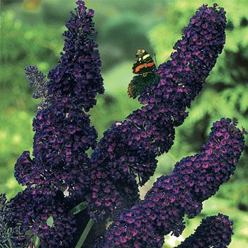 Black Knight Butterfly Bush #10900 Attracts Hundreds of Butterflies!