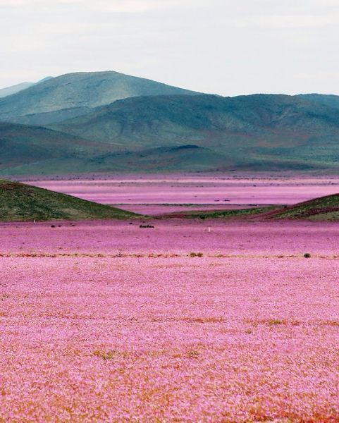 Chile's Atacama Desert Is Now a Floral Wonderland