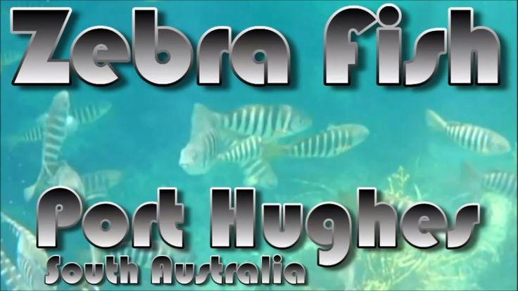 Zebra Fish Port Hughes Jetty South Australia