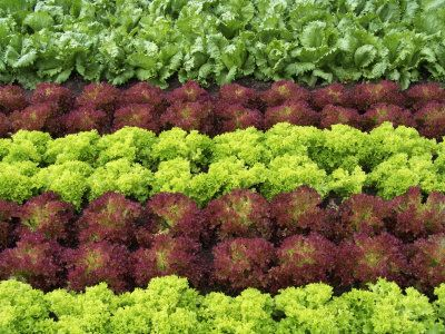 I can #plant lettuces. #garden