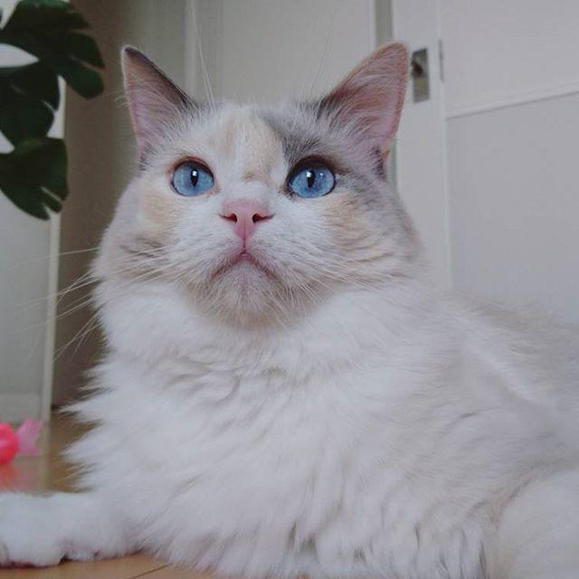 何? なんかいるよ!  変な鳥の鳴き声に かたまったまま(笑)  #グルーミング#途中#かたまる#鳥#鳴き声#へんなこえ #みんねこ#ピクネコ#ふわもこ部#ペコ猫部#愛猫#ねこらぶ#ねこ#cat#ragdoll#Instagram#ラグドール#三毛猫#青い#眼#もふもふ #モアナ