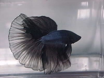 betta fish also known as siamese fighting fish are the most chosen ...