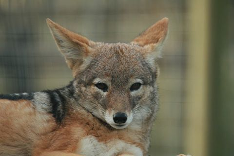 We also look after a few jackals her at http://wolfsanctuary.co.za