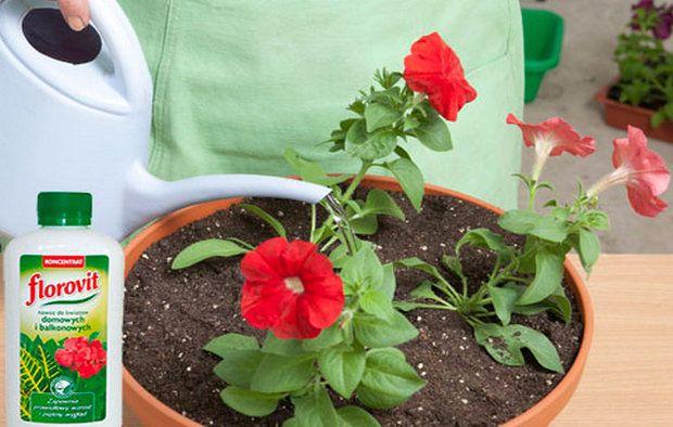 Секреты удобрения петуний: чем подкормить растение для обильного цветения
