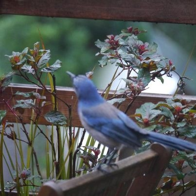 Western Scrub Jay contemplates the Squirrel-resistant Suet Palace...