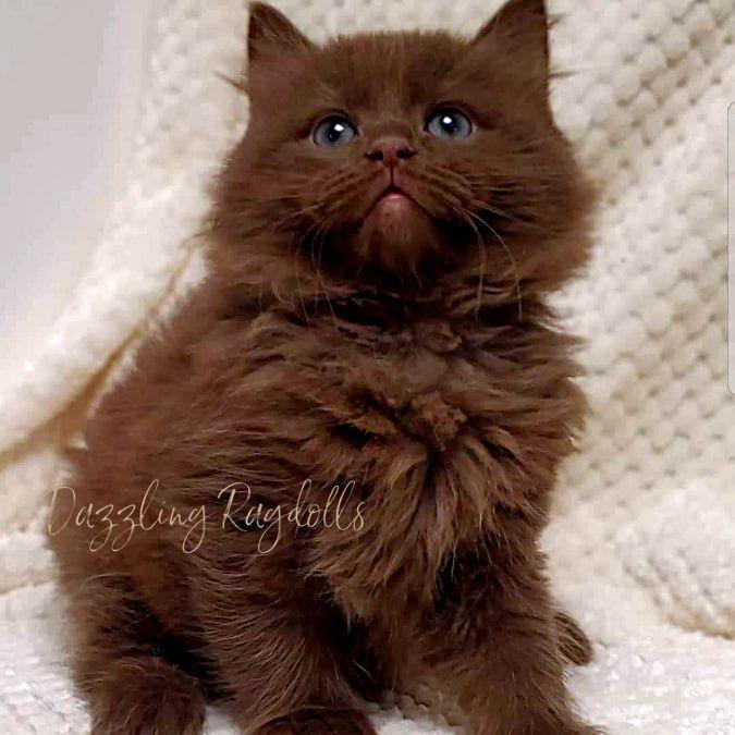 Solid Chocolate Ragdoll In 2020 Cute Cats Cats Ragdoll Kitten