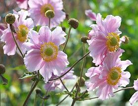 Anemone-Japonica-Hybriden - sie blühen von September bis Oktober