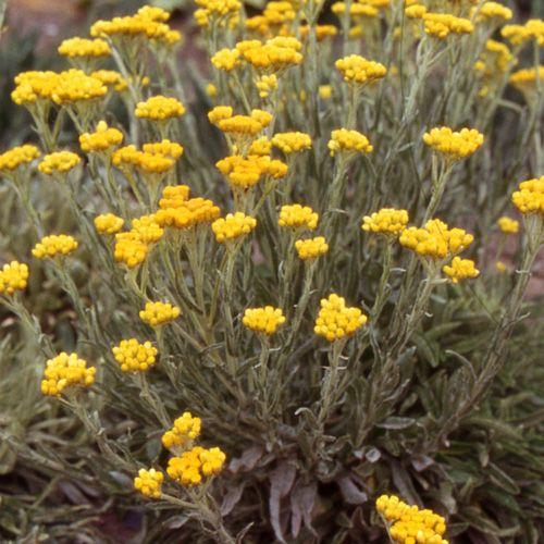 Helichrysum tianshanicum immortelle plantes de plein for Plante d interieur plein soleil