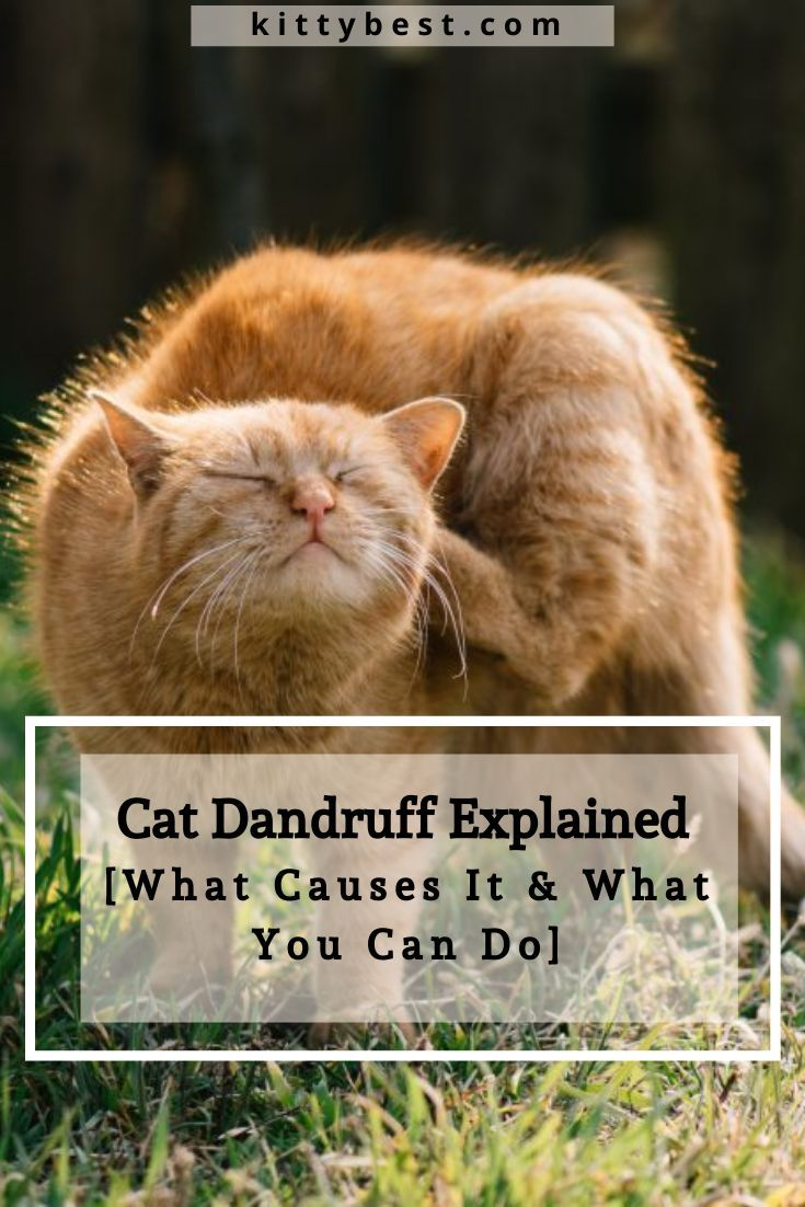 Cat Dandruff Explained What Causes It What You Can Do Cat Dandruff Cat Care Cats