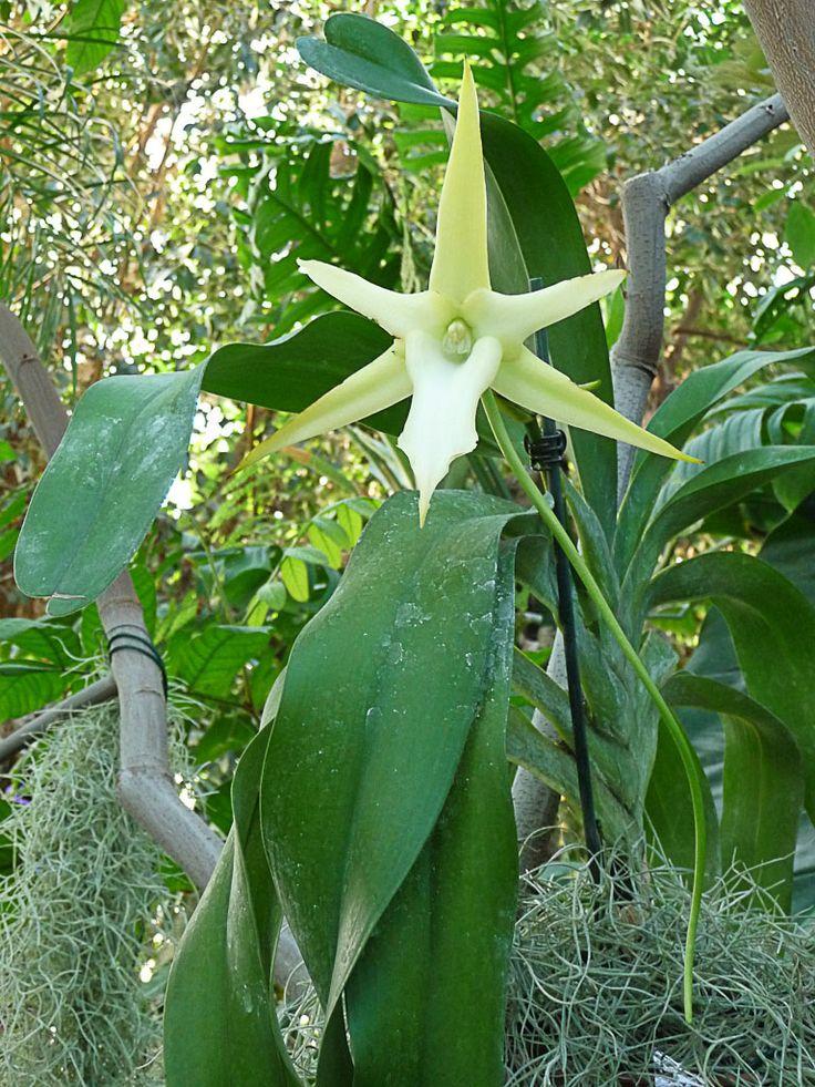 Étoile de Madagascar (Angraecum sesquipedale)  Superbe orchidée malgache présentée dans l'exposition Mille et une orchidées qui se déroule encore pour quelques jours dans la grande serre tropicale du Jardin des Plantes de Paris (Paris 5e).  http://www.pariscotejardin.fr/2013/03/etoile-de-madagascar-angraecum-sesquipedale/