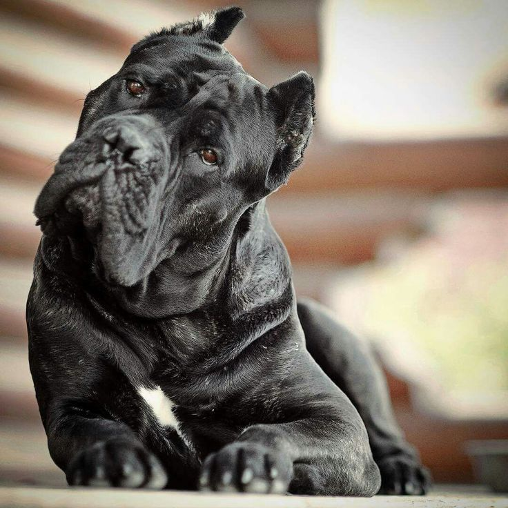 From ' Cane Corso Europe '