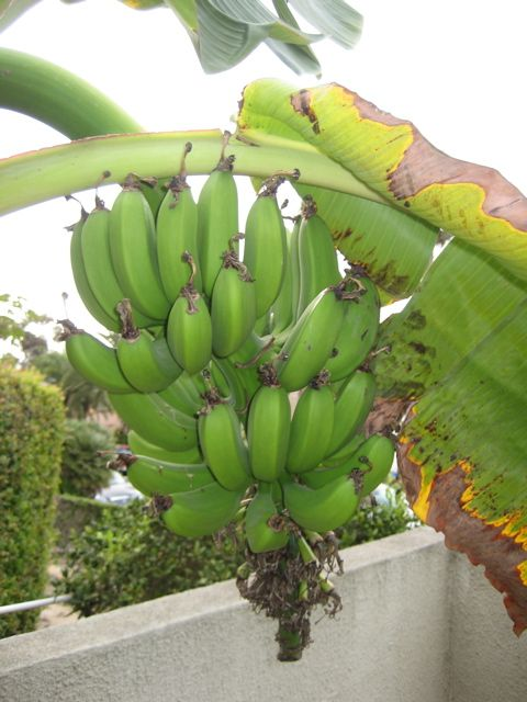 How to Grow Bananas – Essential Tips On Growing Banana Trees