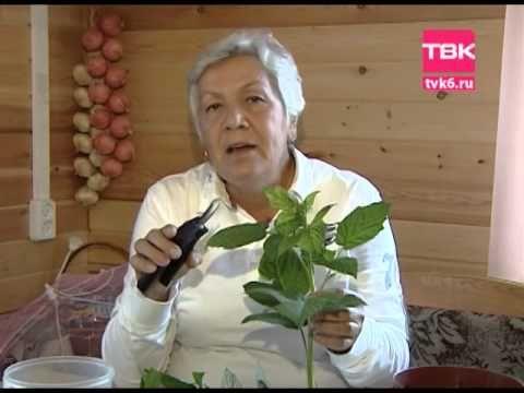 Советы тёти Тани. Черенкование малины - YouTube | Сад и огород | Постила