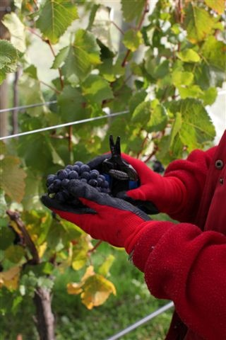 Hand harvest pinot grapes at Amisfield's Pisa Vineyard