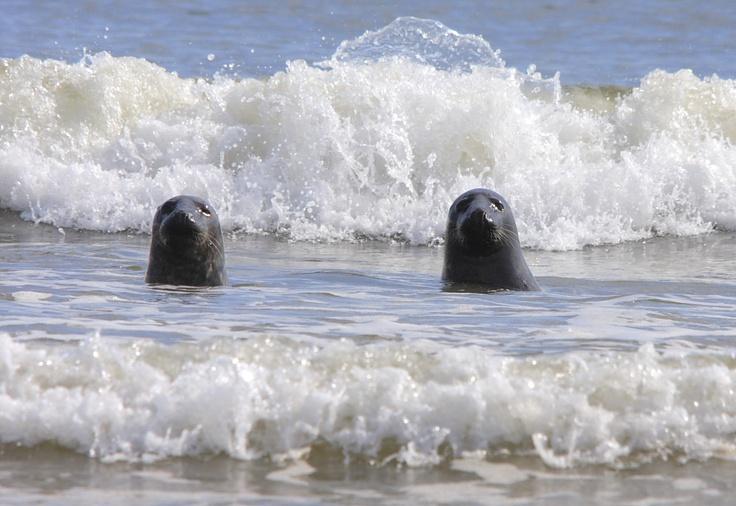 Grey seals, Lincolnshire Coast