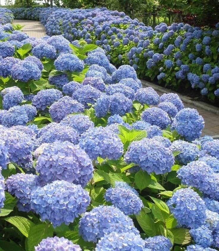Pin By Shelley Corcoran On The Great Outdoors In 2020 Beautiful Hydrangeas Hydrangea Garden Peonies And Hydrangeas