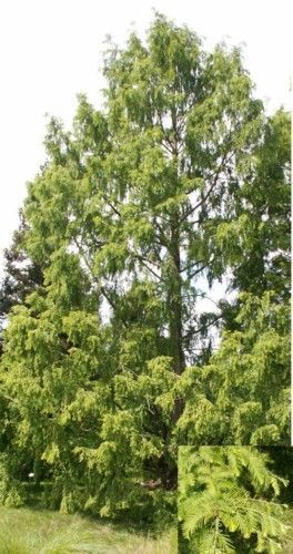 50-Samen-Urweltmammutbaum-Metasequoia-glyptostroboides-Mammutbaum-urtuemlich
