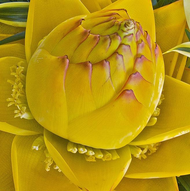 39 golden lotus banana 39 fl flowers 02 pale tone. Black Bedroom Furniture Sets. Home Design Ideas