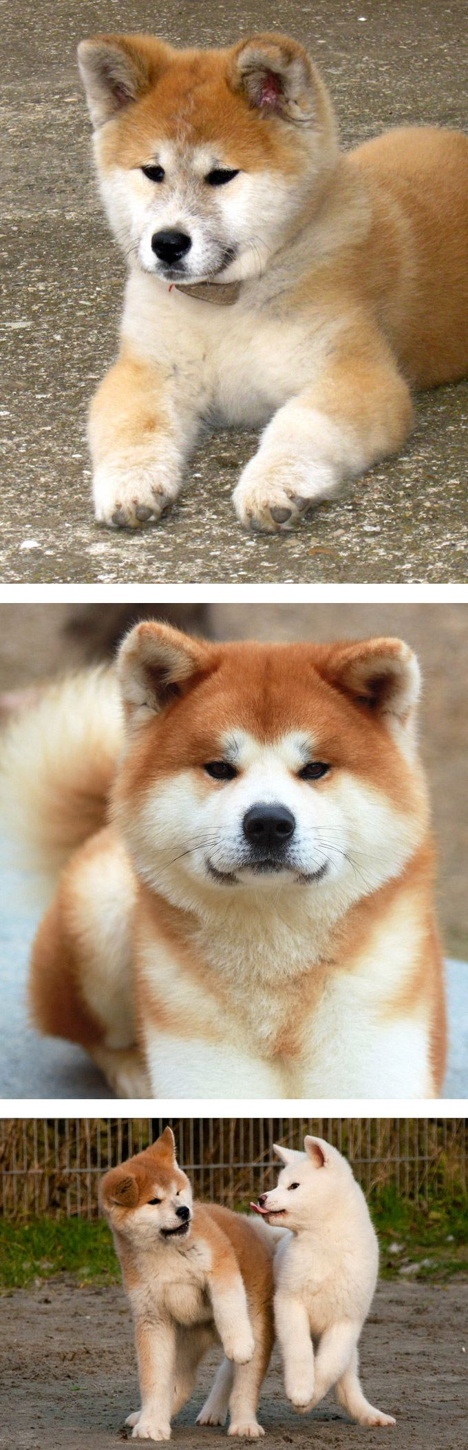 Akita, dogs from Japan.. Still the one i'm hooked on.. SO CUTE