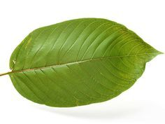 Some of the most interesting health benefits of kratom leaves include their ability to lower blood pressure, relieve pain, boost metabolism, increase sexual energy, improve the immune system, prevent diabetes, ease anxiety, help with addiction, eliminate stress, and induce healthy sleep.