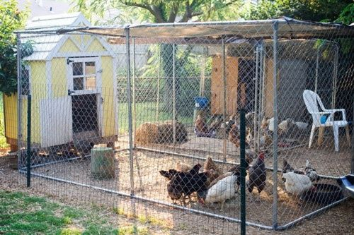 Chicken Coop Made Of Chain Link Fence Chain Link