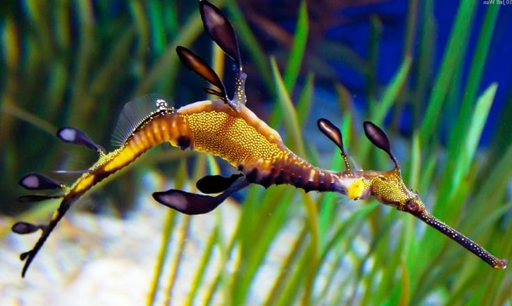 Gambar Kuda Laut Sedang Berenang