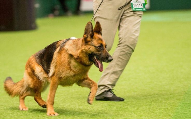 """German Shepherds are living and dying in misery due to intensive breeding for """"cosmetic"""" reasons, a major new report by the Royal Veterinary College has found."""