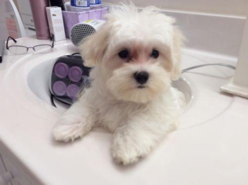 Maltese & Bichon mix male puppy My Future Friend