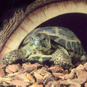 Russian Tortoise!!! As soon as we are settled, I'm getting one!!!