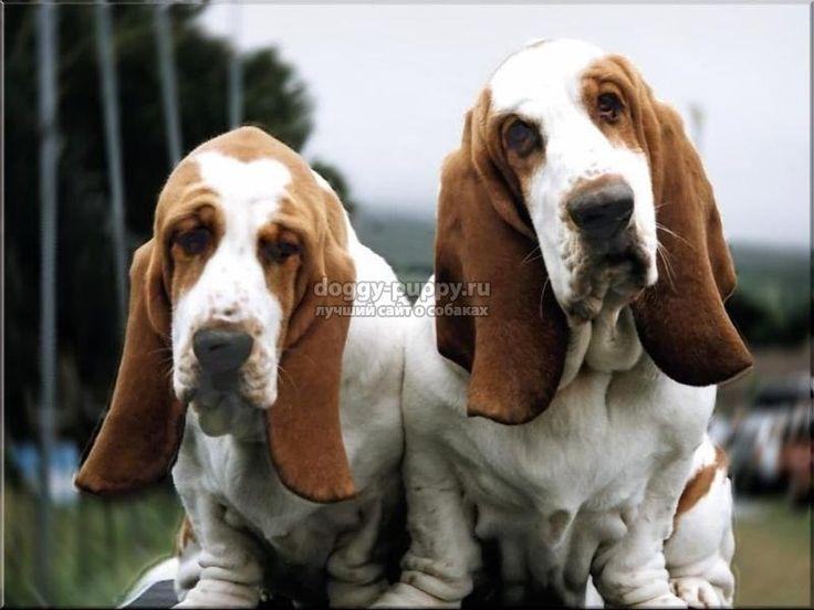 бассет хаунд щенки - Поиск в Google