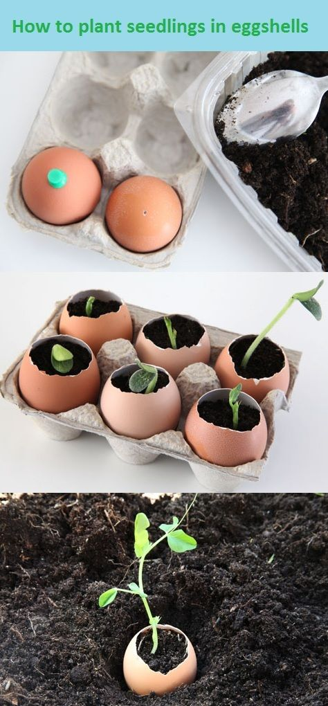 How-to-plant-seedlings-in-eggshells