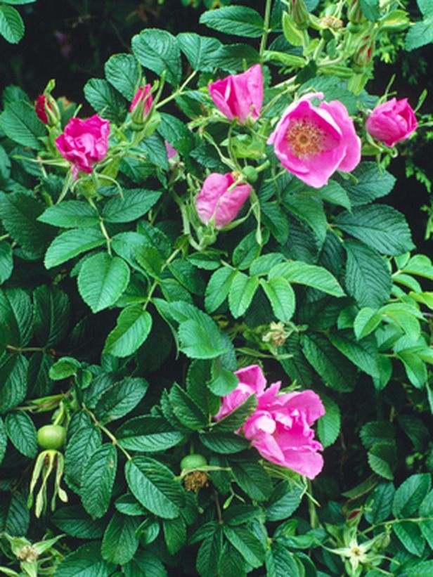 Rosa rugosa, Rubra - site claims this is a shade loving plant.  Really?  I'd love it to be so!