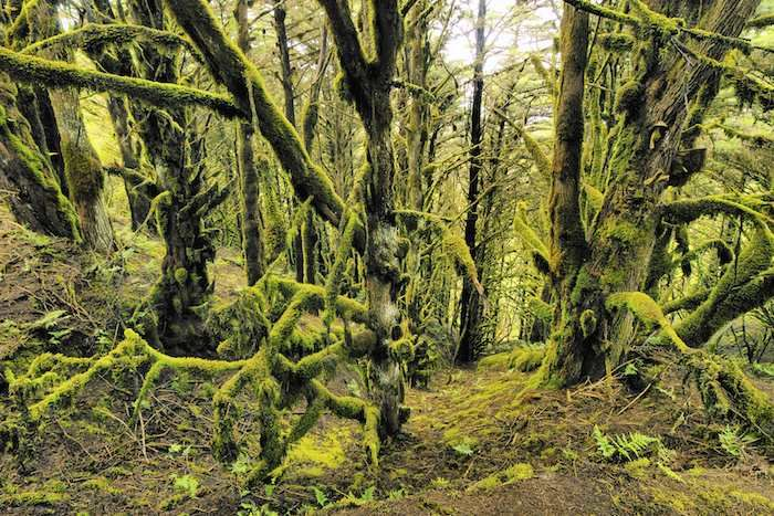 Lichen and moss-covered trees in the ancient laurisilva #forest #ElHierro
