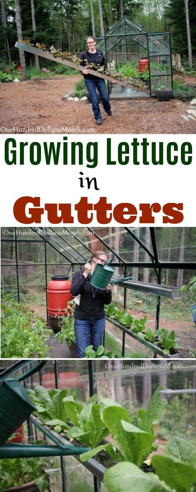 growing Lettuce in Gutters, Greenhouse Gardening, Greenhouse Ideas, greenhouse garden