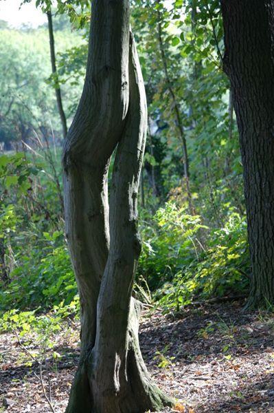 verschlungene bäume