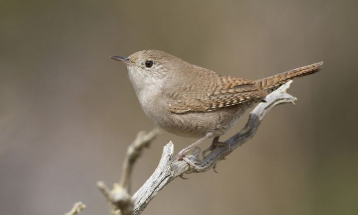 House Wren - Introduction | Birds of North America Online