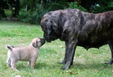 """Le mastiff, abréviation de l'anglais Old English Mastiff, est une race de chien.Dans Cynographia Britannica, il est dit: Ce que le lion est au chat, le mastiff l'est au chien (""""What the Lion is to the Cat the Mastiff is to the Dog"""").  En termes de masse, c'est une des plus grosses races de chien, bien que dépassée en taille par l'Irish Wolfhound et le dogue allemand (section 2.1 molossoïde, type dogue).."""
