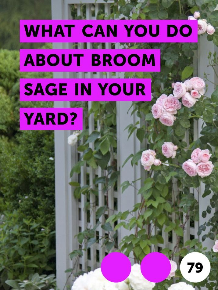 What Can You Do About Broom Sage In Your Yard Plants Planting Grass Grass Seed