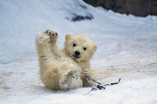 I love polar bear cubs