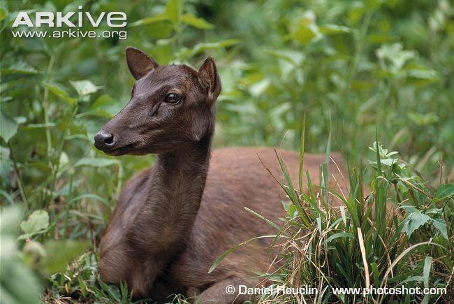 Female Philippine brown deer