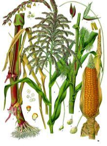 shopping tips to avoid corn